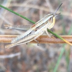 Macrotona australis (Common Macrotona Grasshopper) at Hughes Garran Woodland - 15 Dec 2020 by Tapirlord