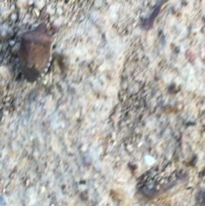 Dictyotus conspicuus at Hughes Garran Woodland - 15 Dec 2020