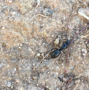 Camponotus sp. (genus) at Hughes Garran Woodland - 15 Dec 2020