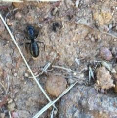 Camponotus sp. (genus) at Hughes Garran Woodland - 15 Dec 2020