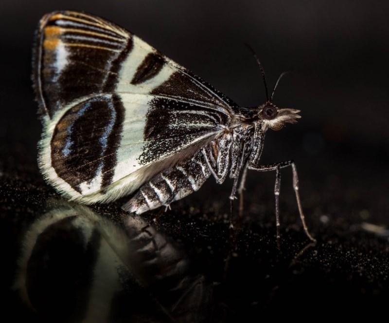 Phrataria bijugata at Melba, ACT - 14 Dec 2020