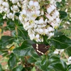 Nyctemera amicus (Senecio or Magpie moth) at Murrumbateman, NSW - 15 Dec 2020 by SimoneC