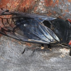 Psaltoda moerens (Redeye Cicada) at Mount Ainslie - 15 Dec 2020 by jbromilow50