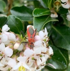 Gminatus australis (Orange Assassin Bug) at Murrumbateman, NSW - 16 Dec 2020 by SimoneC