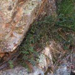 Pellaea calidirupium (Hot rock fern) at Jones Creek, NSW - 11 Apr 2012 by abread111