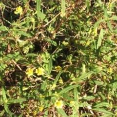 Sigesbeckia australiensis (A daisy) at Jones Creek, NSW - 11 Apr 2012 by abread111
