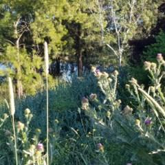 Onopordum acanthium (Scotch Thistle) at Gungahlin Pond - 8 Dec 2020 by Hotdog