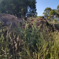 Onopordum acanthium (Scotch Thistle) at Gungahlin Pond - 11 Dec 2020 by Hotdog