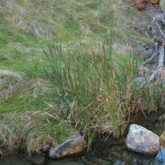 Typha sp. (Cumbungi) at Jones Creek, NSW - 11 Apr 2012 by abread111