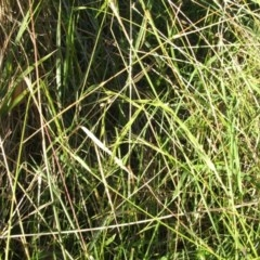 Microlaena stipoides (Weeping Grass) at Jones Creek, NSW - 11 Apr 2012 by abread111