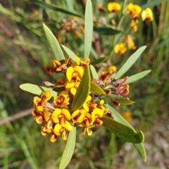 Daviesia mimosoides subsp. mimosoides at Mount Painter - 20 Oct 2020 by drakes