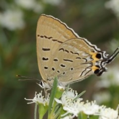 Jalmenus ictinus (Stencilled Hairstreak) at ANBG - 14 Dec 2020 by TimL