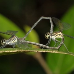 Austroargiolestes icteromelas (Common Flatwing) at ANBG - 13 Dec 2020 by TimL