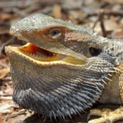 Pogona barbata (Eastern Bearded Dragon) at ANBG - 13 Dec 2020 by Tim L