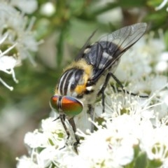 Scaptia sp. (genus) (March fly) at ANBG - 14 Dec 2020 by TimL
