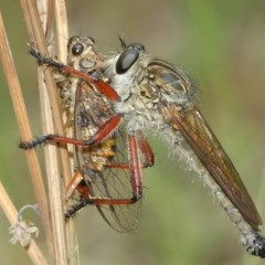 Zosteria sp. (genus) (Common brown robber fly) at ANBG - 13 Dec 2020 by TimL