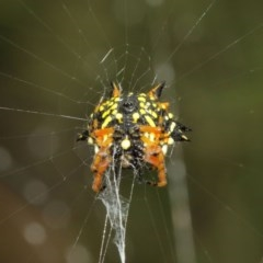 Austracantha minax (Christmas Spider, Jewel Spider) at ANBG - 14 Dec 2020 by TimL