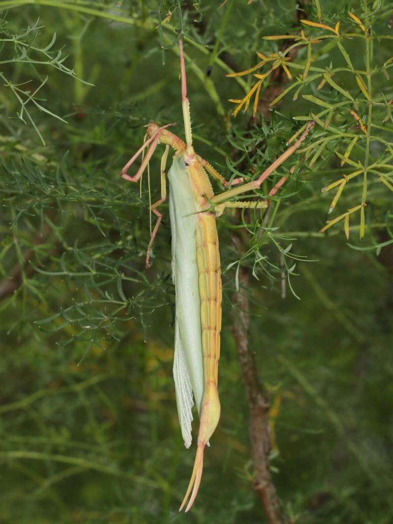 Podacanthus typhon at Acton, ACT - 14 Dec 2020