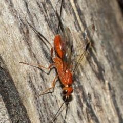Ichneumonidae sp. (family) (Unidentified ichneumon wasp) at Acton, ACT - 9 Dec 2020 by TimL