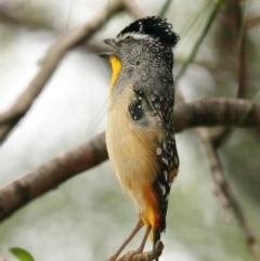 Pardalotus punctatus (Spotted Pardalote) at ANBG - 15 Dec 2020 by Tim L