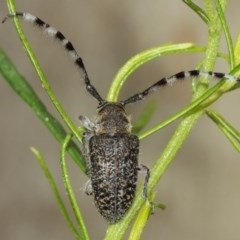 Ancita sp. (genus) (Longicorn or longhorn beetle) at ANBG - 14 Dec 2020 by TimL