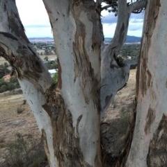 Eucalyptus polyanthemos (Red Box) at Cooleman Ridge - 16 Dec 2020 by Nat