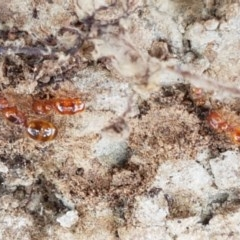 Pheidole sp. (genus) (Seed-harvesting ant) at Crace Grasslands - 17 Dec 2020 by tpreston