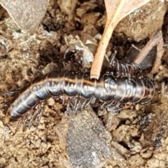 Unidentified Millipede (Diplopoda) (TBC) at Crace Grasslands - 17 Dec 2020 by tpreston