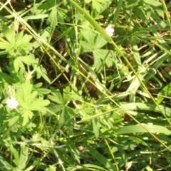 Geranium sp. at Jones Creek, NSW - 11 Apr 2012 by abread111