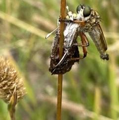 Zosteria sp. (genus) (Common brown robber fly) at Yarralumla, ACT - 14 Dec 2020 by RAllen