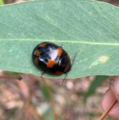 Paropsisterna beata (Eucalyptus leaf beetle) at Murrumbateman, NSW - 15 Dec 2020 by SimoneC