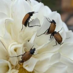 Phyllotocus rufipennis (Nectar scarab) at Murrumbateman, NSW - 15 Dec 2020 by SimoneC