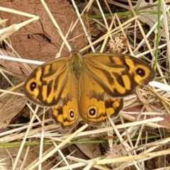 Heteronympha merope (Common Brown) at Mount Painter - 13 Dec 2020 by drakes