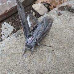 Endoxyla cinereus (Giant Wood Moth) at Wodonga - 17 Dec 2020 by ChrisAllen