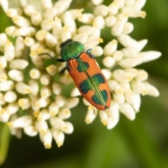 Castiarina hilaris (A jewel beetle) at Black Mountain - 17 Dec 2020 by Roger