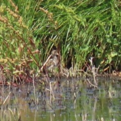 Rostratula australis (Australian Painted-snipe) at Jerrabomberra Wetlands - 17 Dec 2020 by RodDeb