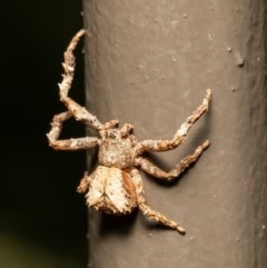 Sidymella sp. (genus) (A crab spider) at ANBG - 17 Dec 2020 by Roger