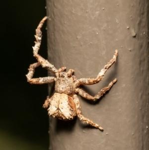 Sidymella sp. (genus) at Acton, ACT - 17 Dec 2020
