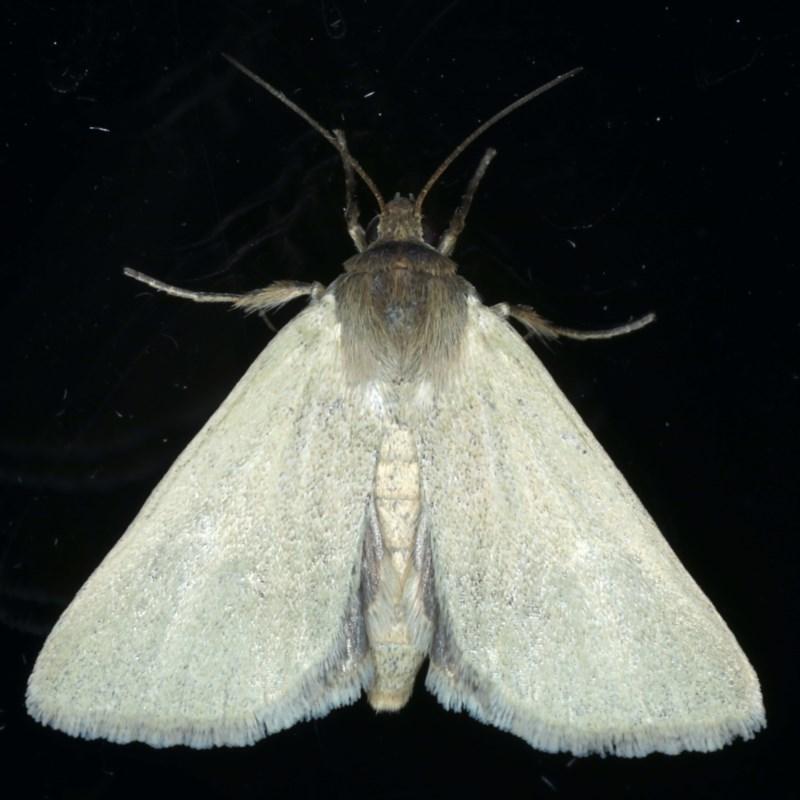 Heliocheilus moribunda at Ainslie, ACT - 17 Dec 2020