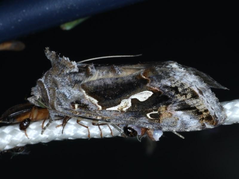 Chrysodeixis argentifera at Ainslie, ACT - 17 Dec 2020