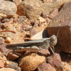 Austroicetes sp. (genus) (A grasshopper) at Dryandra St Woodland - 18 Dec 2020 by ConBoekel