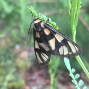 Amata (genus) at ANBG - 17 Dec 2020