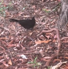 Corcorax melanorhamphos (White-winged Chough) at Acton, ACT - 16 Dec 2020 by Tapirlord