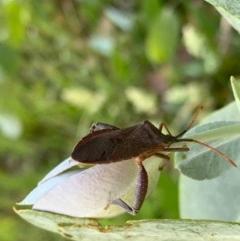 Amorbus sp. (genus) (Tip bug) at Murrumbateman, NSW - 18 Dec 2020 by SimoneC