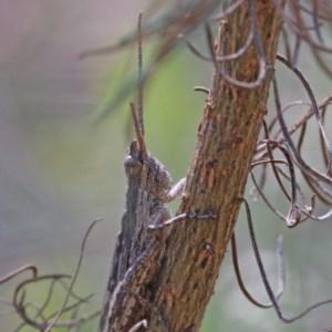 Coryphistes ruricola at Dryandra St Woodland - 18 Dec 2020