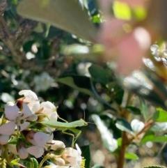 Orthodera ministralis (Garden mantis) at Murrumbateman, NSW - 18 Dec 2020 by SimoneC