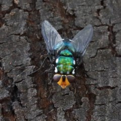 Rutilia (Ameniamima) argentifera (A Bristle fly) at Dryandra St Woodland - 18 Dec 2020 by ConBoekel