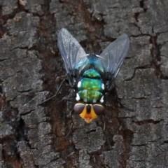 Rutilia (Ameniamima) argentifera (A Bristle fly) at Dryandra St Woodland - 18 Dec 2020 by ConBoekel