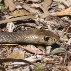 Pseudonaja textilis (Eastern Brown Snake) at ANBG - 18 Dec 2020 by Alison Milton