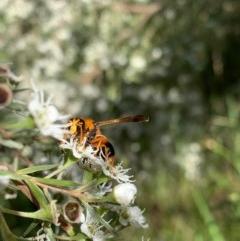 Abispa ephippium (Potter wasp, Mason wasp) at Murrumbateman, NSW - 18 Dec 2020 by SimoneC